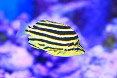 Stripey fish Stock Photo
