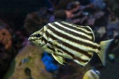 Stripey fish Microcanthus strigatus - close up. Detail Stock Photos