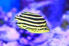Stripey fisk Arkivfoto