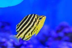Stripey fisk Arkivbilder