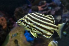 Stripey fiskMicrocanthus strigatus - nära övre Arkivfoton