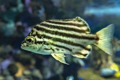 Stripey ryba Microcanthus strigatus - zakończenie up obraz royalty free