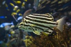 Stripey ryba Microcanthus strigatus - zakończenie up obraz stock