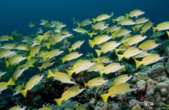 Stripey Sea Perch - Rowley Shoals Stock Photo