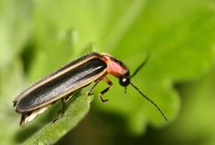 Stripped bug royalty free stock images