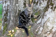 Stripped Calico Cat In White Birch Tree. stock photography