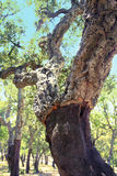 Stripped cork oaks royalty free stock photography