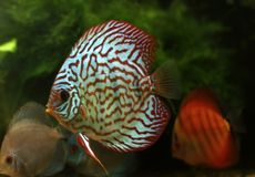 Stripped discus Royalty Free Stock Photo