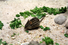 Stripped grass mouse Stock Images