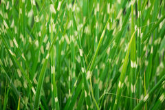 Stripped green ornamental grass background Royalty Free Stock Photography