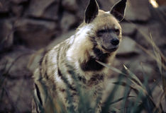 Stripped Hyena. Strippwd Hyena looking strait Stock Photos