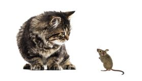 Stripped kitten mixed-breed cat looking down at a real mouse, is. Olated on white Royalty Free Stock Photography