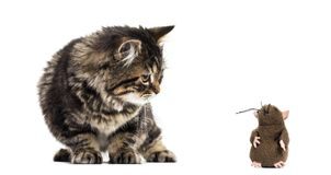 Stripped kitten mixed-breed cat looking down at a toy mouse, iso. Lated on white Royalty Free Stock Photography