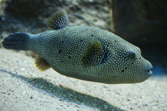 Stripped puffer (Arothron meleagris) Royalty Free Stock Images