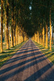Stripped shadows from trees in row Stock Photography