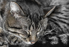 Stripped sleeping cat gray fur texture. Background Royalty Free Stock Photography