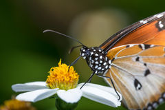 Stripped Tiger Butterfly Stock Image