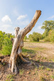 Stripped Tree Trunk Royalty Free Stock Image