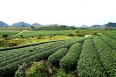 Strips of tea plantation Stock Images