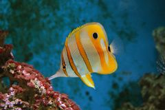 Stripy fish. Stripy white-yellow fish in the coral reef royalty free stock photo