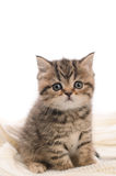 Stripy gray kitten on white knitted fabric Royalty Free Stock Photography