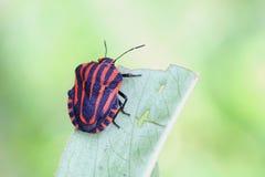 A strisce-insetto italiano, lineatum di Graphosoma Fotografia Stock Libera da Diritti