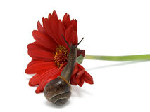 Strisciamento della lumaca su un fiore rosso Fotografie Stock