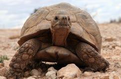 Strisciare enorme della tartaruga Immagini Stock