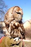 Strix Aluco - coruja Tawny Imagens de Stock Royalty Free