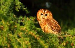 Strix aluco in evening light. Tawny owl Strix aluco in evening light stock images
