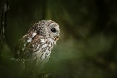 Strix aluco. It occurs in the Czech Republic. Free nature. royalty free stock photos