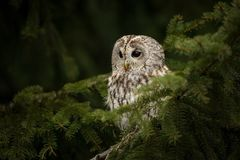 Strix aluco. It occurs in the Czech Republic. Free nature. The wild nature of the Czech Republic. Beautiful image of the owl. From Owl`s Life. Owl on the tree stock image