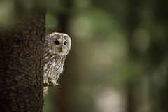 Strix aluco. It occurs in the Czech Republic. Free nature. royalty free stock photo