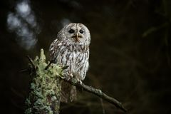 Strix aluco. It occurs in the Czech Republic. Free nature. Royalty Free Stock Images