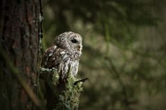 Strix aluco. It occurs in the Czech Republic. Free nature. Stock Photography