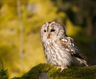 Strix aluco - portrait of tawny owl sitting on moss in forest. Tawny owl sitting on moss in forest - Strix Aluco royalty free stock photos