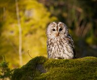 Tawny owl sitting on moss in forest  - Strix Aluco Royalty Free Stock Photography