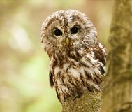 Strix aluco - tawny owl looking from behind of tree. Brown owl looking behind from the tree - Strix aluco stock image