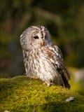 Strix aluco - tawny owl sitting on moss in forest. Tawny owl sitting on rock with moss - Strix Aluco stock photo