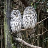Strix aluco on tree. Couple of Strix aluco on tree in forest royalty free stock images