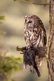 Strix. Bird sitting on the tree stock image
