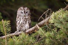 Strix. Bird sitting on the tree stock photography