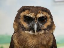 Strix leptogrammica - Brown Wood Owl, portrait view. Close royalty free stock photos