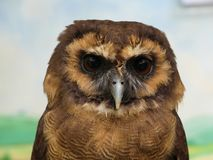 Strix leptogrammica - Brown Wood Owl, portrait view. Close up royalty free stock photography