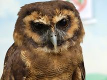 Strix leptogrammica - Brown Wood Owl, portrait view. Close up royalty free stock image