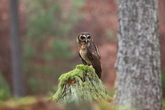 Strix leptogrammica. Owl in nature. Beautiful bird picture. Autumn colors. From bird life. Photographed in Czech royalty free stock images
