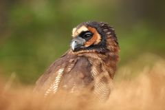 Strix leptogrammica. Owl in nature. Beautiful bird picture. Autumn colors. From bird life. Photographed in Czech royalty free stock photo