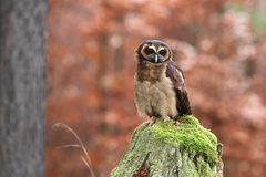 Strix leptogrammica. Owl in nature. Beautiful bird picture. Autumn colors. From bird life. Photographed in Czech stock photos