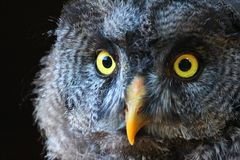 Strix nebulosa, Graet Grey Owl, Bartkauz Royalty Free Stock Images