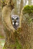 Strix nebulosa hidden. Majestic tawny owl Strix nebulosa in spring royalty free stock images